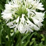 Agapanthe, Agapanthus, Tubéreuse blanche, Lis du Nil