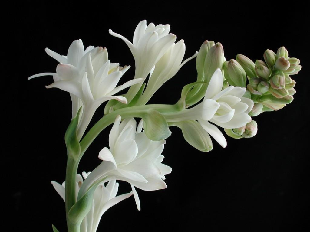 tubarózsa parfümökben