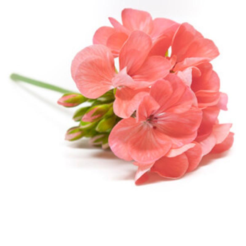 geránium parfümblog