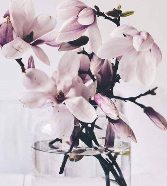 A tavasz leglátványosabb virága: magnólia